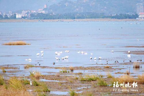 小天鹅飞抵澳门太阳城闽江河口湿地 本月中下旬是最佳观测期