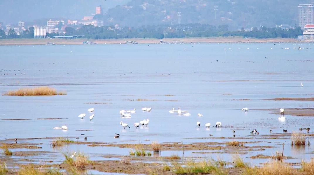 小天鹅飞抵福州闽江河口湿地 本月中下旬是最佳观测期