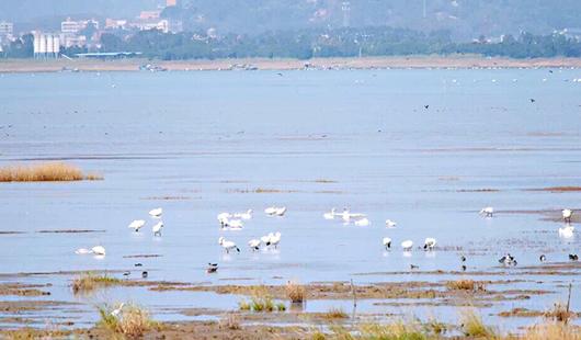小天鵝飛抵閩江河口濕地 本月中下旬是最佳觀測期