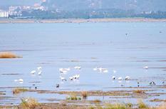 小天鹅飞抵闽江河口湿地 本月中下旬是最佳观测期