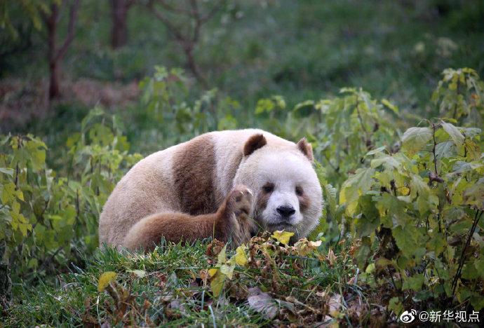 棕色大熊猫被认养怎么回事全球唯一圈养棕色大熊猫被终身认养