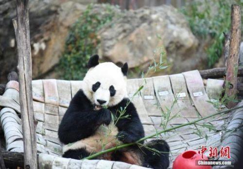 大熊猫贝贝回国是怎么回事?大熊猫贝贝多大了在美国待了多久