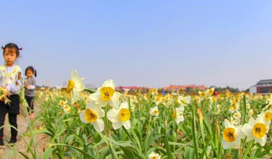 漳州水仙:最是氤氲能致远