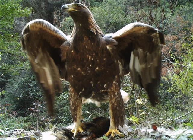 湖北神农架现1.2米高金雕金雕长什么样子图片是保护动物吗