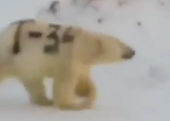 北极熊身上被赐字怎么回事 北极熊被人用黑色颜料写上T-34字样