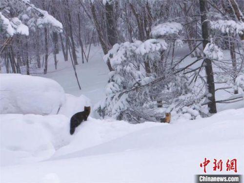 吉林延边发现野生紫貂怎么回事?野生紫貂长什么样图片是几级保护动物