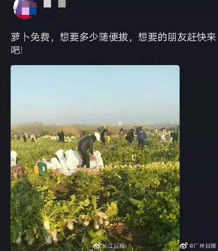 200亩萝卜被拔光详细新闻介绍 200亩萝卜被拔光真相揭秘菜农哭了