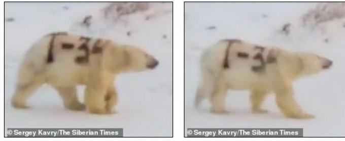 北极熊身上被涂字是真的吗 北极熊身上被涂什么字照片曝光令人生气