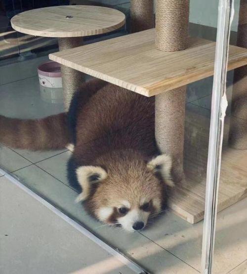 重慶一咖啡館疑飼養小熊貓怎么回事?小熊貓長什么樣的為何不能家養
