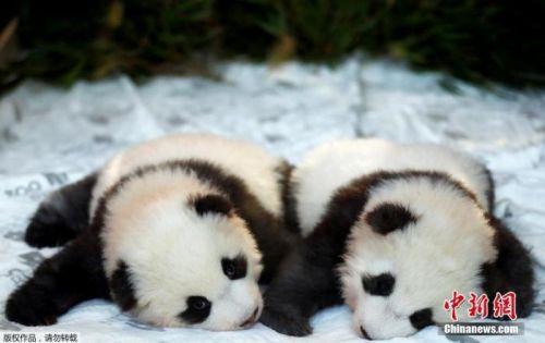 """旅德新生大熊猫双胞胎入围""""全球大熊猫奖"""""""