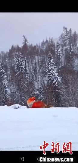 红狐现身大兴安岭 与森林管护员对视数秒走进森林 红狐照片曝光