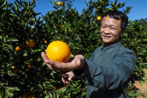 △云冠橙龙陵基地主管凌育友,对自己种的橙子充满爱意。