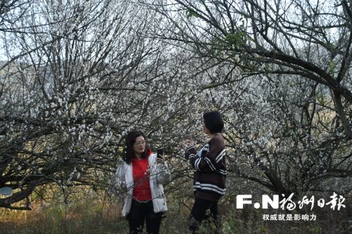 永泰境內青梅近日競相綻放,引來許多游客賞梅。 郭永仙攝