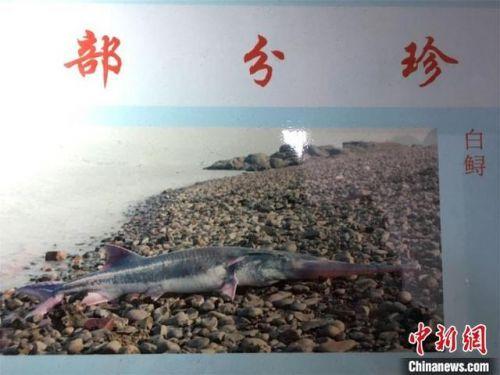 長江白鱘已滅絕是怎么回事?長江白鱘圖片滅絕的原因是什么