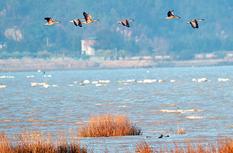 长乐闽江河口国家湿地公园又迎越冬候鸟