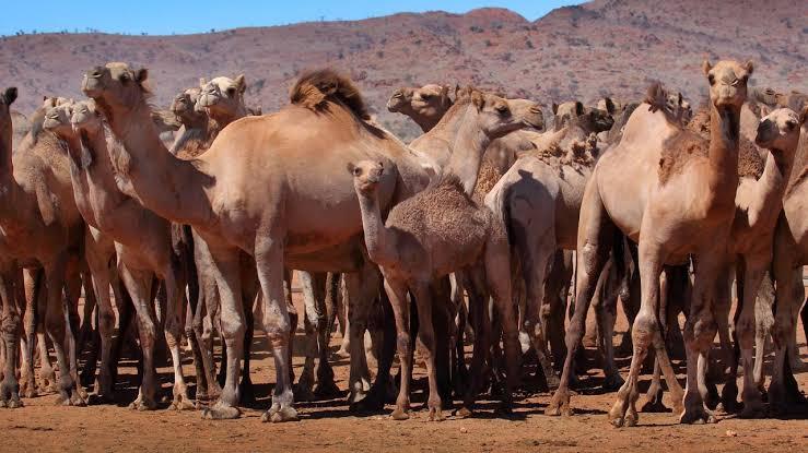 澳大利亚射杀骆驼 数量达近1万头