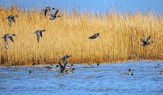 闽江河口湿地美景如诗如画 翩翩候鸟戏水来