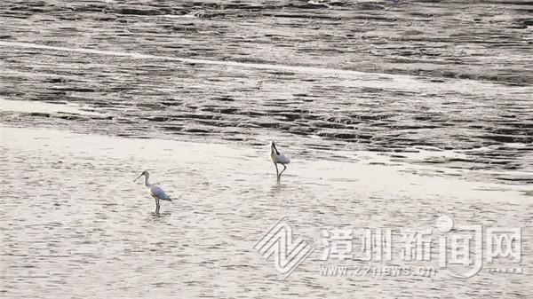 世界濒危珍稀鸟类黑脸琵鹭现身漳州龙海红树林