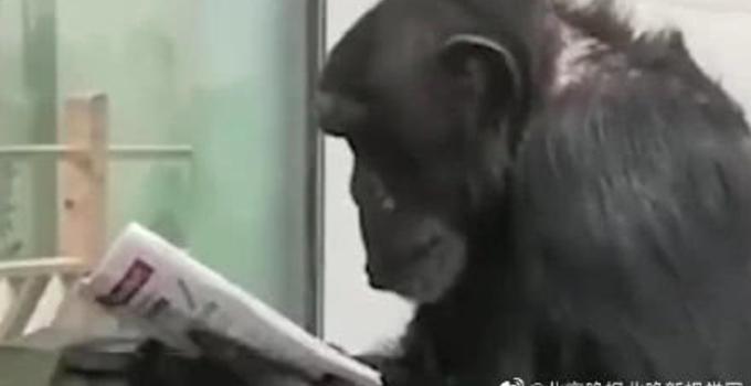 秦岭动物园大猩猩看报纸怎么回事?秦岭动物园大猩猩看报纸图片