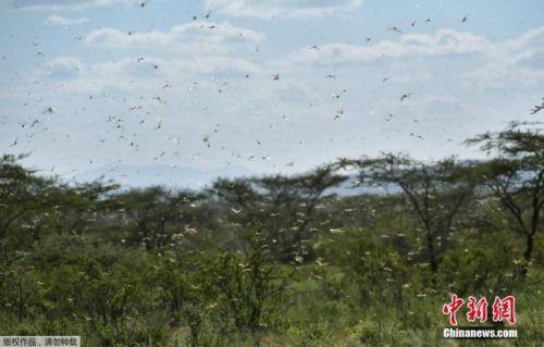 因蝗虫灾害泛滥 索马里宣布进入国家紧急状态