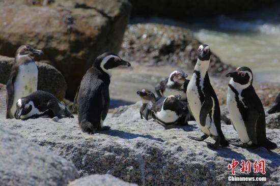 企鵝叫聲有何特點?研究:其語言模式與人類相似