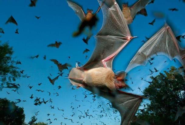 恐怖!30万蝙蝠聚集攻陷小镇 翼展2米长主动攻击人类被吓坏