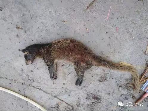 贵州男子捕杀食用果子狸被查处怎么回事?捕杀食用果子狸为什么被查处