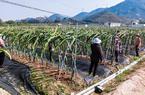福建漳浦:農場女工復產忙