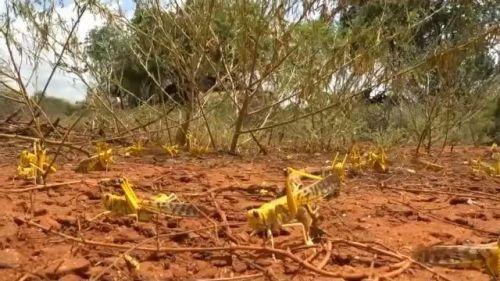 联合国发蝗灾警告什么情况 非洲多国遭受严重沙漠蝗虫灾害
