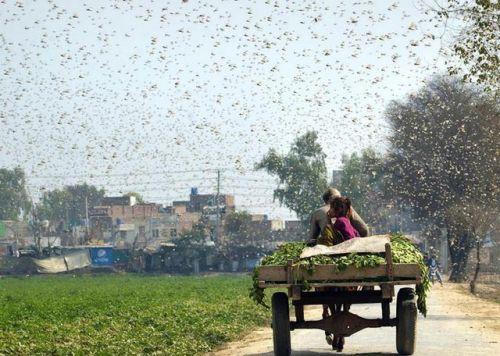 联合国发蝗灾警告怎么回事?联合国发蝗灾警告全文说了什么