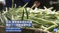 俄羅斯兩萬人同吃野韭菜什么情況 稱野韭能提高抵抗力