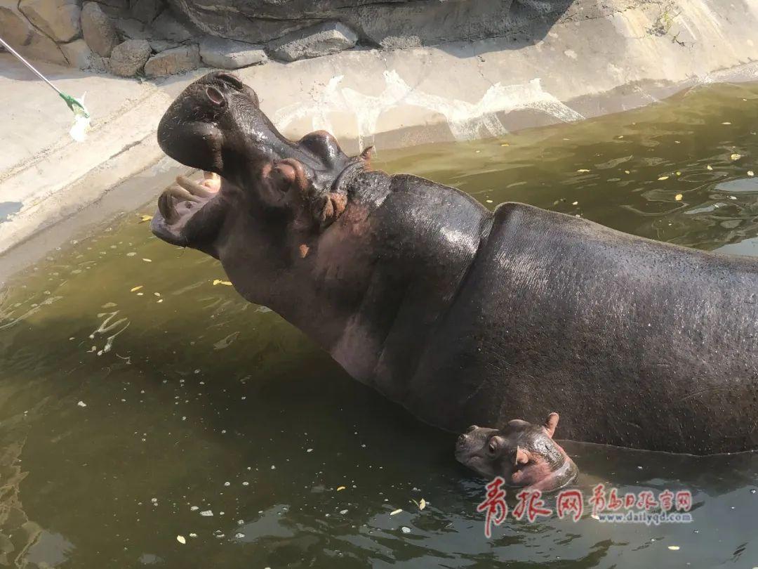 """动物园经营困难开展认养活动 一大批""""小可爱""""等你来认养!"""