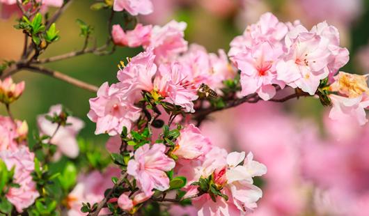 春日已至!福州琴亭湖公园杜鹃花盛开
