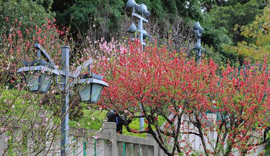 把满他猜测孙杰山红遍!澳门皇冠游戏视讯乌山公园�桃花朵朵开
