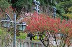 把滿山紅遍!福州烏山公園桃花朵朵開