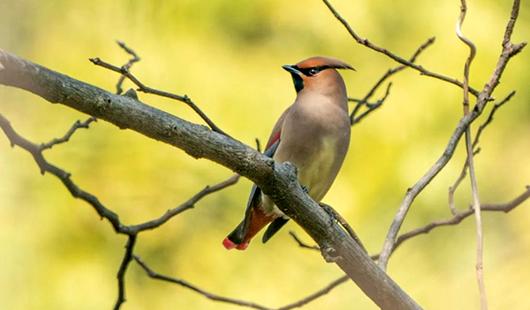 """福州""""食宿""""好 稀有候鳥現身行道樹上"""