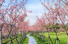 福州乌山风景区桃花盛开春意浓