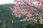 """漂洋過海的""""阿里山櫻花""""在漳州港盛開"""