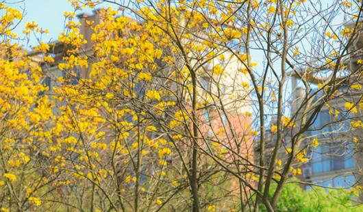美翻了!福州黃花風鈴木驚艷盛放