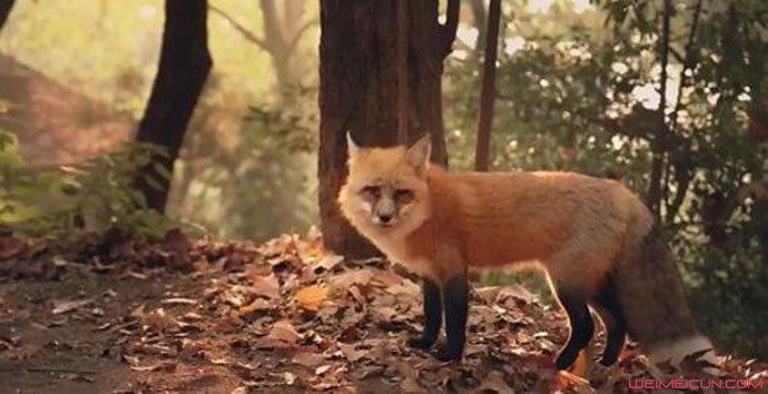 武大网红狐狸下山觅食怎么回事 具体详情视频在哪里看