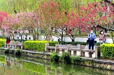 福州西湖桃花盛开 春意盎然