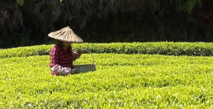 永泰:明前茶上市 茶农忙采摘