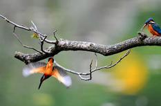 福州西湖公园:翠鸟舞蹁跹