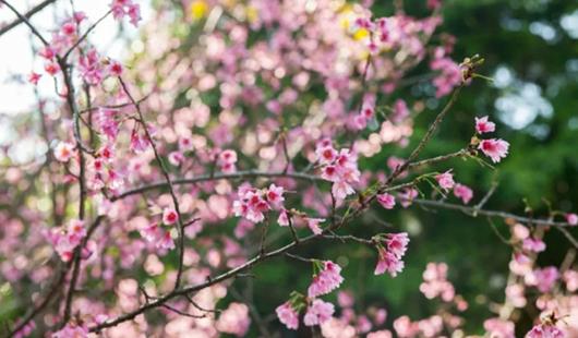 福州乌山公园浪漫樱花海,美到想恋爱