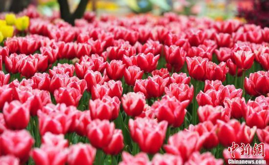 荷兰销毁百万束鲜花怎么回事 原因竟然是这样!令人惋惜