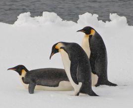 世界上体型最大的企鹅是帝企鹅还是马达加斯加企鹅? 支付宝蚂蚁庄园3月27日答案
