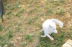 福州市区白狐出没,等红灯、大方觅食!