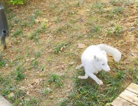 福州市區白狐出沒,等紅燈、大方覓食!
