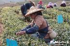 永泰深度挖掘茶文化 打造特色茶旅小镇