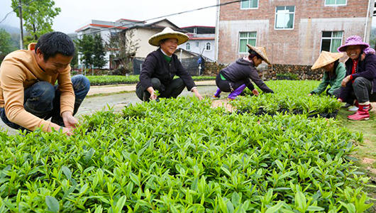 南靖和溪:发展优势绿色产业 打通脱贫幸福路